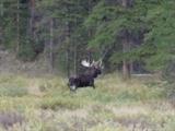 record-moose