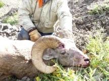ken-hutton-2008-bighorn